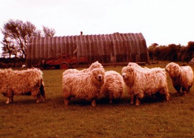 Derek Wotton's greyface sheep - the hut in the background from Prawle Point Radar Station