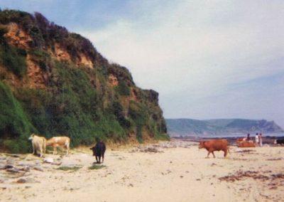 Cattle on Horsley Beach