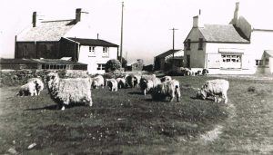 East Prawle village Green with sheep grazing. Postcard, Kittiwake and Windfall at the back, and the shop on the right.