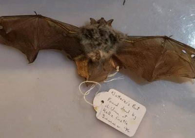Nutterer's Bat