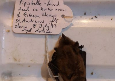 Pipistrelle 8 July 1993 (St Sylvester's Bat Walk)