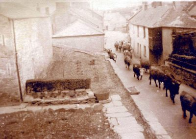 A herd of cattle through Chillington donated by Rosalind Page and Cookworthy Museum
