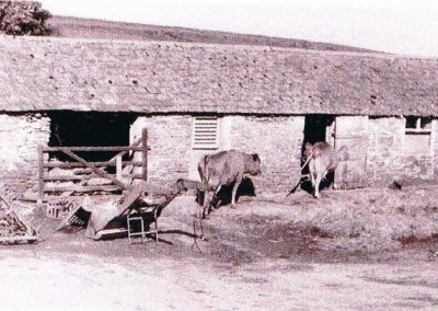Lower House Farm cows going infor milking 1940s-50s
