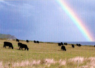 cattle in field with rainbow and Prawle Point on horizon