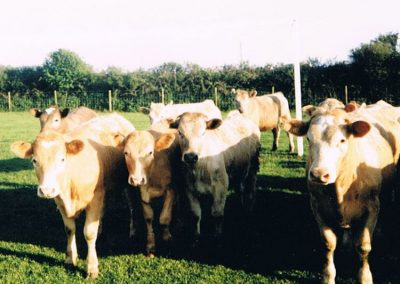 Vicky's cattle bought at Halworth Market