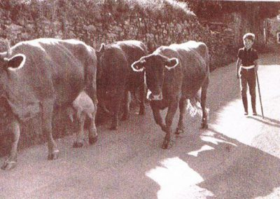 Cattle going down Town Hill from Mrs Ford's cottage