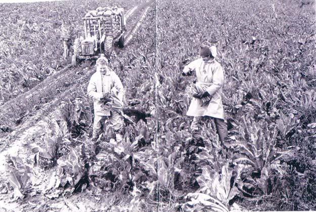 Harry Arundel (Nicholas) and Martin Bartrup, cutting cauliflower for nets 1982/3