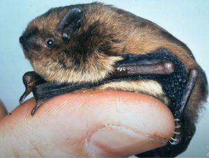 Bat on finger